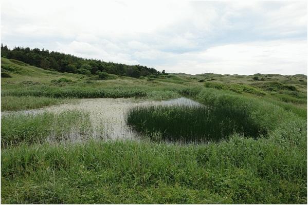 Teiche und Schilf in Dänemarks Dünen