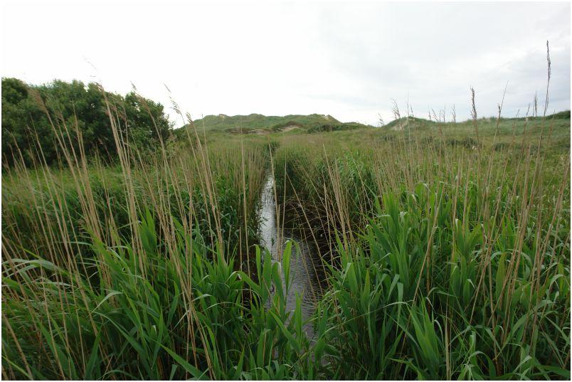 Schilf und Wasser in den Dänischen Dünen an der Norseeküste