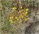 Pflanzen in den Dünen, Sedum
